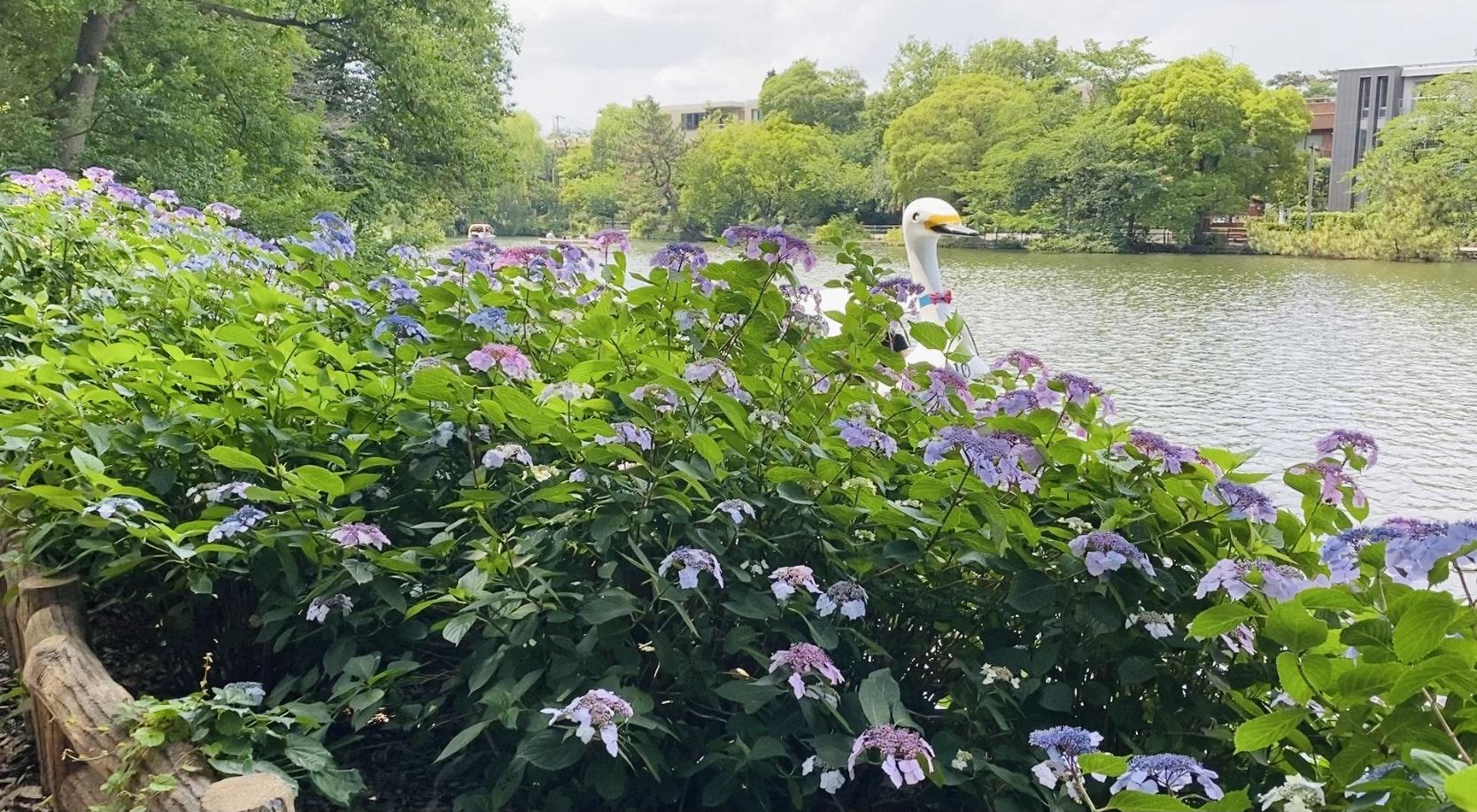紫陽花 石神井公園