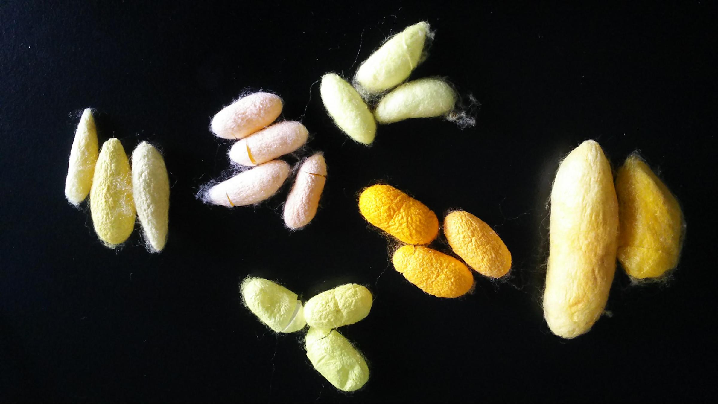 画像: 中国、朝鮮、スペイン、青森県など各地に在来していた蚕の繭[繭の提供元:NBRP(ナショナルバイオリソースプロジェクト)]