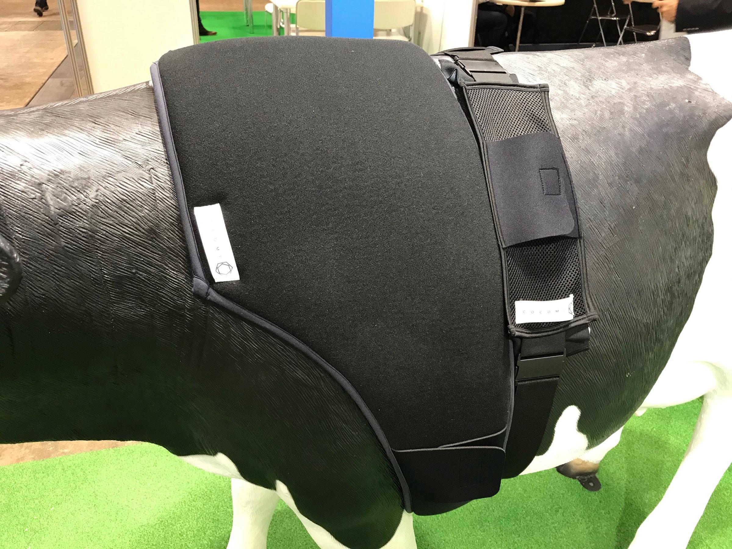 画像: 牛用ベルト型スマートテキスタイル装着の様子