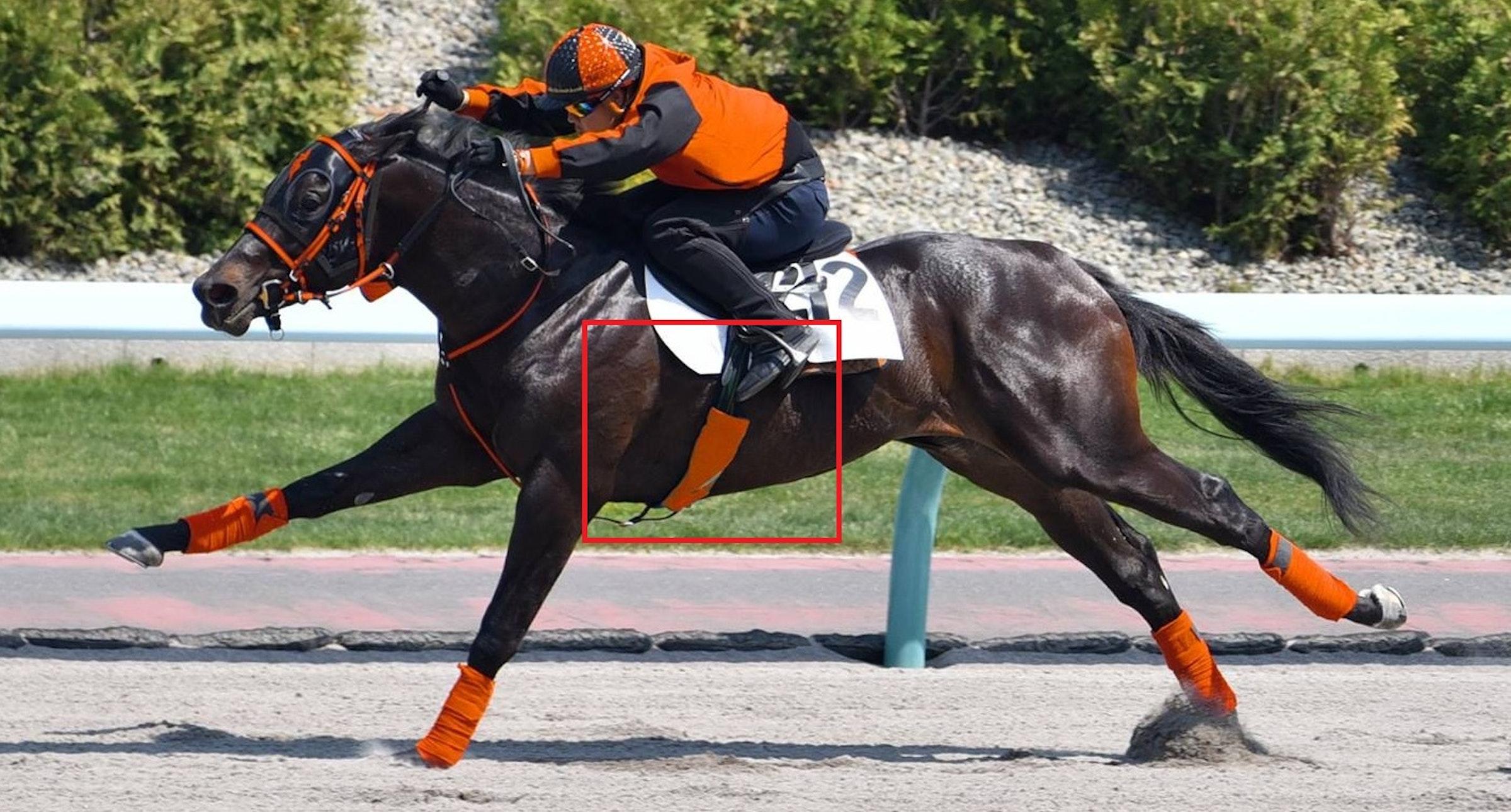 画像: 「Horsecall™」の心拍数計測用腹帯カバーを装着した競走馬